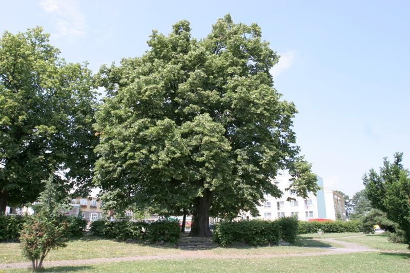 10-Lipa-v-Moravskem-Beroune-(1).jpg