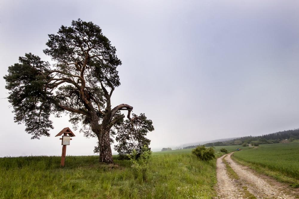 Smirci-borovice1.jpg