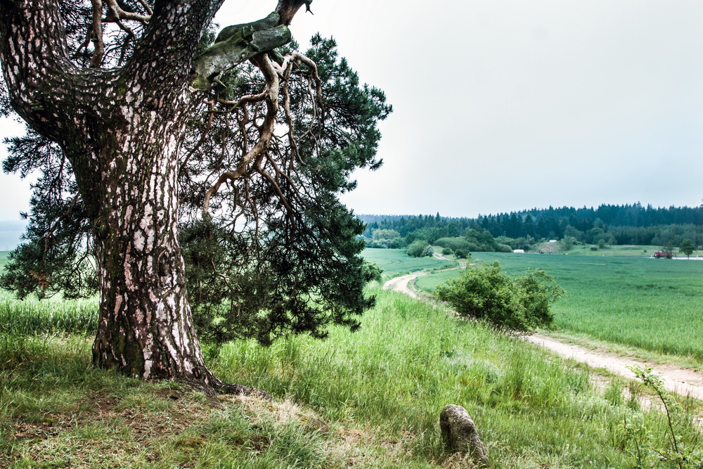 Smirci-borovice5.jpg